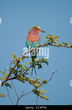 Africa Botswana Tuba Tree. Lilac-breasted Roller perched on limb (Coracias caudatus) - Stock Photo