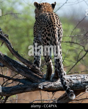 Africa Botswana Tuba Tree-Leopard standing in tree-from rear ( Panthera pardus) - Stock Photo