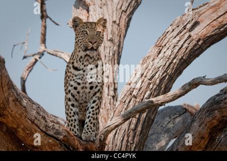 Africa Botswana Tuba Tree-Leopard standing in tree ( Panthera pardus) - Stock Photo
