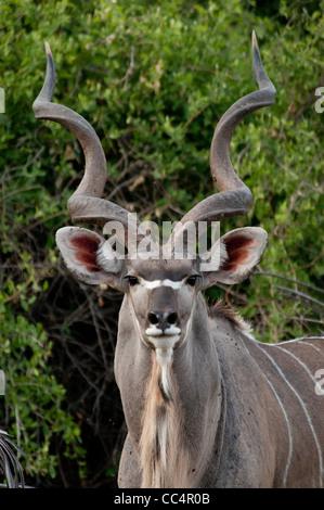 Africa Botswana Tuba Tree-Greater Kudu-head shot (Tragelaphus strepsiceros) - Stock Photo