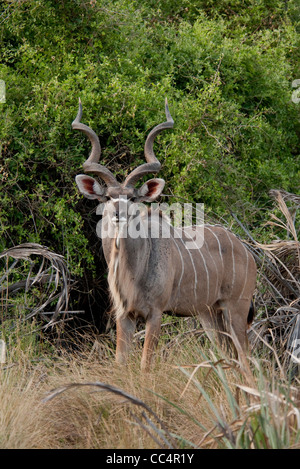 Africa Botswana Tuba Tree-Greater Kudu standing (Tragelaphus strepsiceros) - Stock Photo