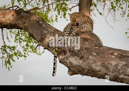 Africa Botswana Tuba Tree-Leopard lying in tree ( Panthera pardus) - Stock Photo