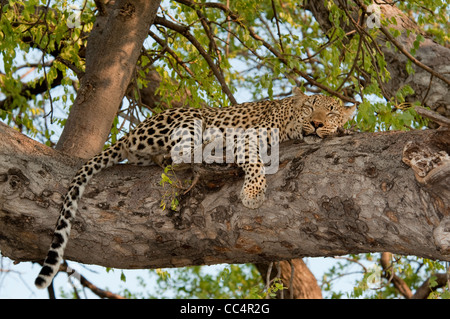 Africa Botswana Tuba Tree-Leopard lying in tree, sleeping ( Panthera pardus) - Stock Photo