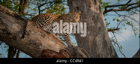Africa Botswana Tuba Tree-Leopard sitting in tree, looking out ( Panthera pardus) - Stock Photo