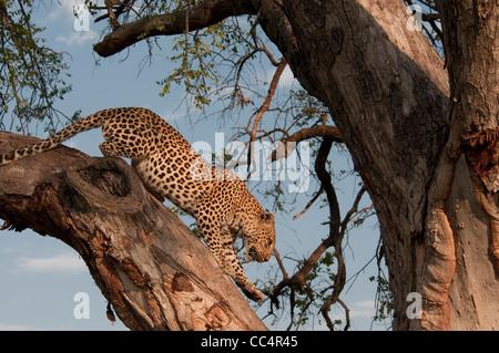 Africa Botswana Tuba Tree-Leopard climbing down tree ( Panthera pardus) - Stock Photo