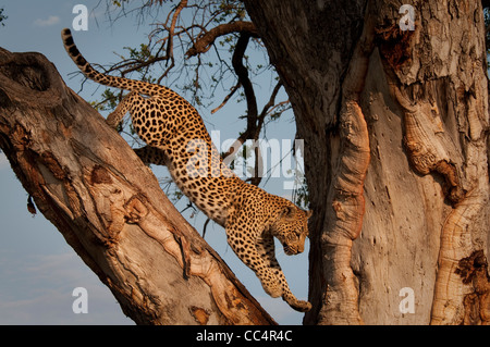 Africa Botswana Tuba Tree-Leopard jumping down tree ( Panthera pardus) - Stock Photo