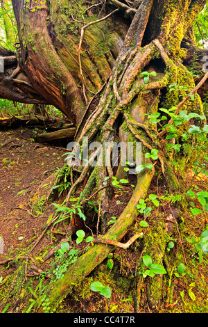 Western Red Cedar root on a nursing tree in the rainforest of Cape Scott Provincial Park on Vancouver Island North, - Stock Photo