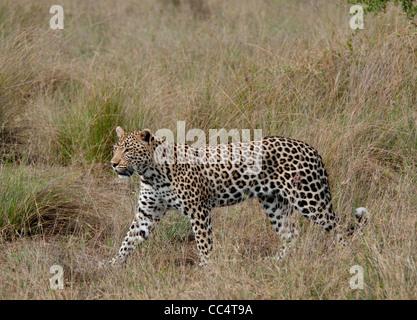Africa Botswana Tuba Tree-Leopard walking ( Panthera pardus) Wound on hip - Stock Photo