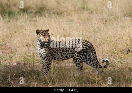 Africa Botswana Tuba Tree-Leopard standing-wound on hip ( Panthera pardus) - Stock Photo