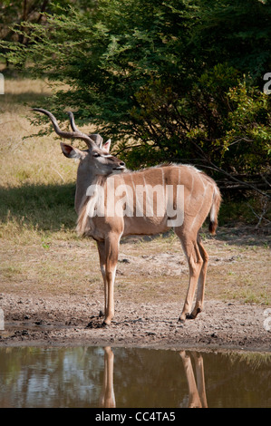 Africa Botswana Tuba Tree-Greater Kudu standing by pond (Tragelaphus strepsiceros) - Stock Photo