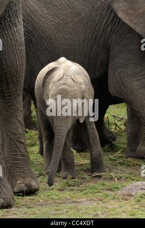 African Elephant (Loxodonta africana) baby surrounded by adults, Masai Mara, Kenya - Stock Photo