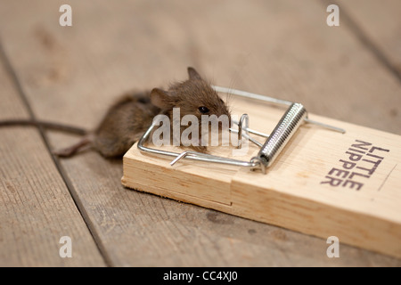Dead mouse in mouse trap on floorboards