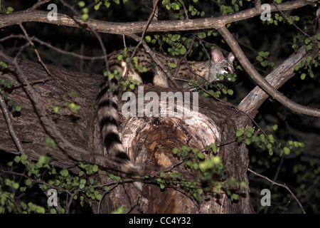 South African large spotted jenet in tree canopy - Stock Photo