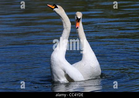 Mute Swan (Cygnus olor) pair in post mating display, Oxfordshire, UK - Stock Photo