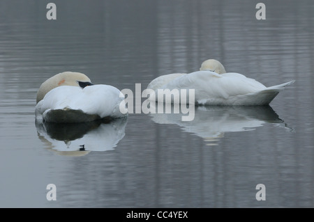 Mute Swan (Cygnus olor) pair sleeping together on the water, Oxfordshire, UK Stock Photo