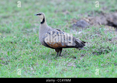 Yellow-throated Sandgrouse (Pterocles gutturalis) Masai Mara, Kenya - Stock Photo