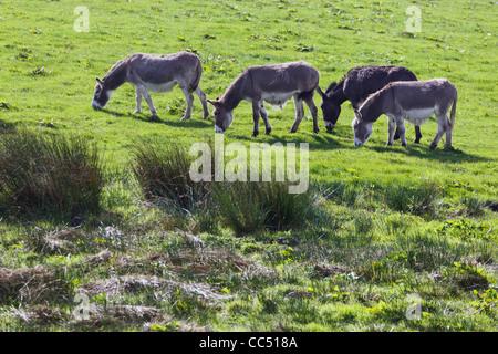 Four donkeys grazing in a field near Balldehob, County Cork, Republic of Ireland. - Stock Photo