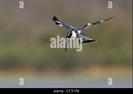 A Pied Kingfisher hovering, looking for fish - Stock Photo