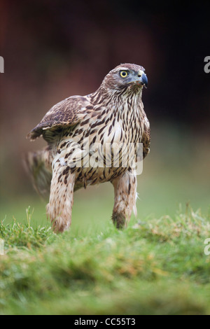 Goshawk; Accipter gentilis; immature female; UK - Stock Photo