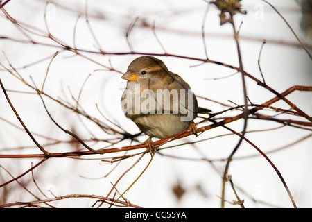 House Sparrow; Passer domesticus; female; Cornwall; UK - Stock Photo