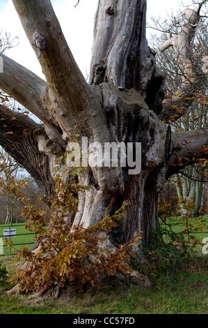 Ancient Sweet Chestnut tree, Elmdon Park, Birmingham, UK - Stock Photo
