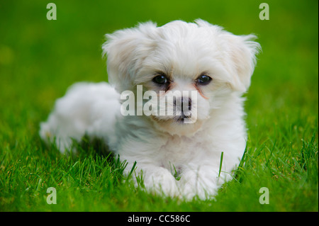 havanese puppy dog in grass - Stock Photo
