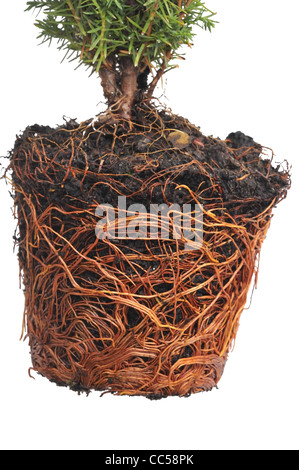 Pot bound exposed roots of Conifer Thuja occidentalis 'Teddy'. - Stock Photo