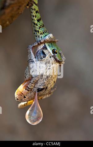 A Spotted Bush snake killing a frog - Stock Photo