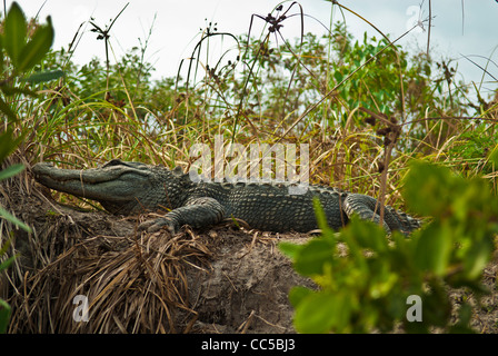 Crocodile lying on the shore of Lover's Key kayak trail - Stock Photo