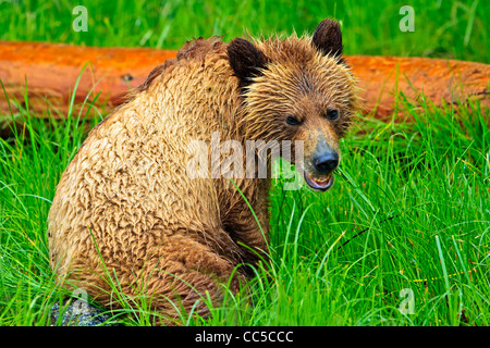 Coastal Grizzly bear cub searching for food at low tide on the British Columbia Mainland, Canada