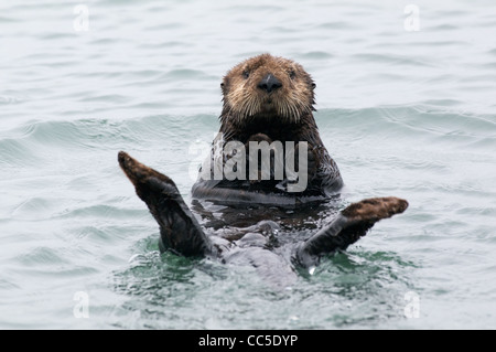 A California Sea Otter (Enhydra lutris nereis) floating on its back in Elkhorn Slough, Monterey County, California. Stock Photo