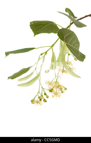twig linden with leafs and fresh flowers - Stock Photo