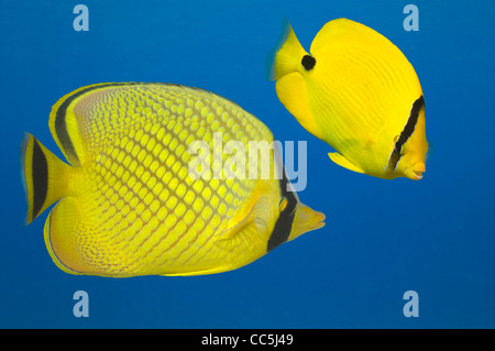 Cut out of Latticed butterflyfish (Chaetodon rafflesi) and  Yellow butterflyfish (Chaetodon andamanensis). - Stock Photo