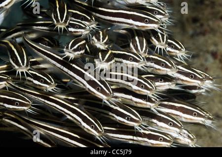 Striped catfish (Plutosus lineatus) school. Manado, Sulawesi, Indonesia. - Stock Photo