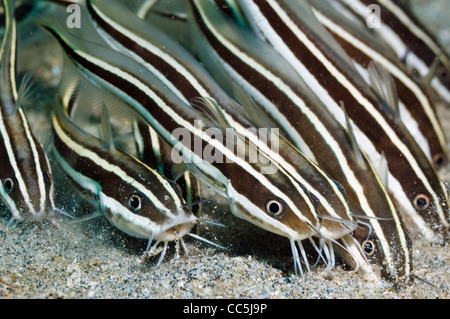 Striped catfish (Plutosus lineatus) school feeding in the sand. Manado, Sulawesi, Indonesia. - Stock Photo
