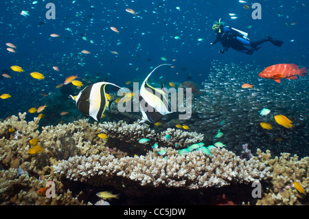Coral reef with Moorish idols over table coral with a female scuba diver in background - Stock Photo