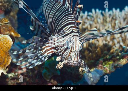 Lionfish (Pterois volitans). Raja Ampat, West Papua, Indonesia. - Stock Photo