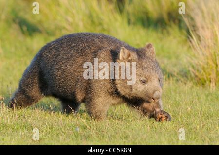 Common Wombat Vombatus ursinus Photographed in Tasmania - Stock Photo