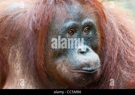 A close portrait of a wild but habituated, adult female orangutan, Camp Leakey, Borneo. - Stock Photo