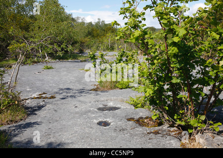 Hazel and Birch trees growing from limestone pavement. Gait Burrows National Nature Reserve. Cumbria, England. June. - Stock Photo