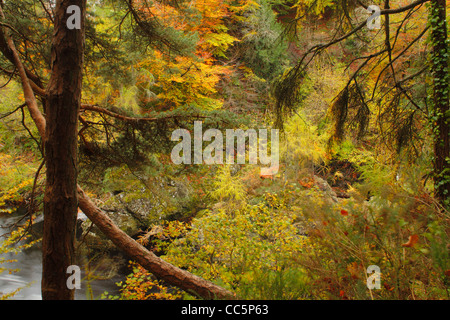 Autumn colours of beech and other trees in the Gorge of the River North Esk, known as the Rocks of Solitude. Scotland. - Stock Photo