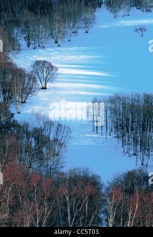 Silver Birch forest beside the Shandian Lake, Fengning Bashang Grassland, Chengde, Hebei , China - Stock Photo
