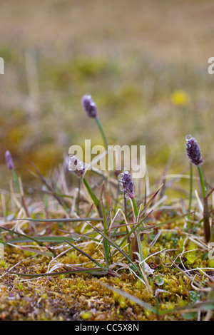 Arctic wood-rush, Lazula Arctica, Spitzbergen, Svalbard, Norway, Europe - Stock Photo