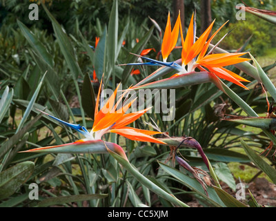 Blooming Strelitzia reginae, Xishuangbannan Tropical Botanical Garden, Yunnan , China - Stock Photo