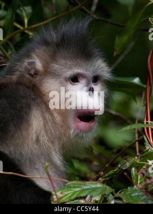 Black snub-nosed monkey, Yunling Mountains Nature Reserve, Nujiang, Yunnan , China - Stock Photo