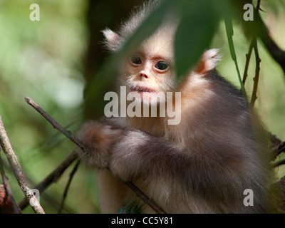 Black snub-nosed monkey cub, Yunling Mountains Nature Reserve, Nujiang, Yunnan , China - Stock Photo