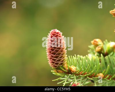 female blossom, cone from a Norway spruce / Picea abies / weibliche Blütenzapfen einer gemeinen Fichte - Stock Photo