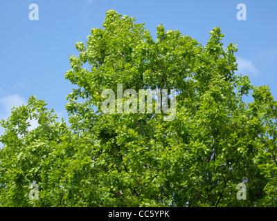 English Oak, tree / Quercus robur  / Stiel-Eiche - Stock Photo