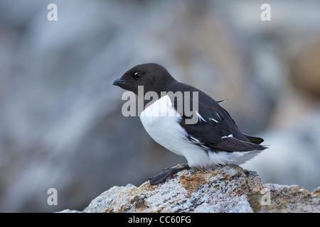 Little auk, Alle Alle, Fuglesangen, Northern, Spitzbergen, Svalbard, Norway, Europe, - Stock Photo