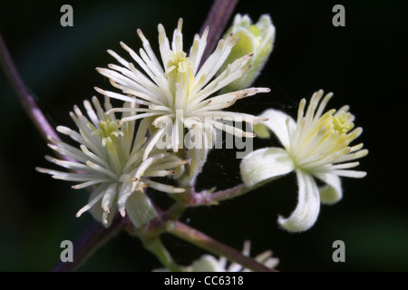 Traveller's Joy, Old Man's Beard, Clematis vitalba, flowers. - Stock Photo